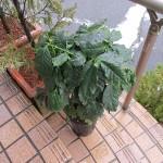 コーヒーの木の雨水浴