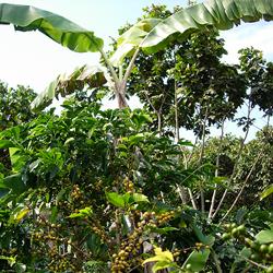 手間のかかる在来品種の栽培