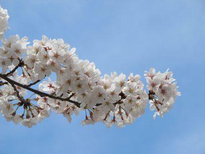 桜色した富士山